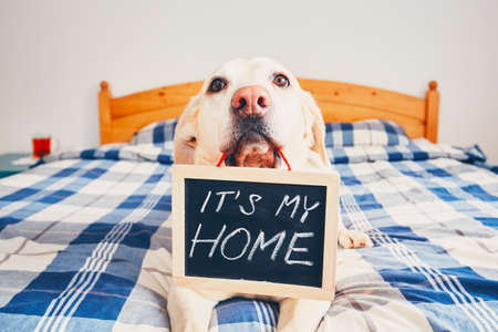 Dog in home. Yellow labrador retriever lying in bed and holding blackboard with the inscription: It is my home.