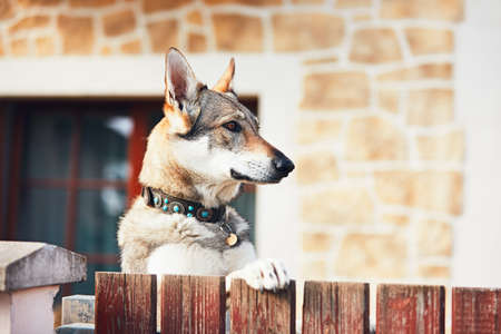 Beware of the dog. Czechoslovakian wolfdog behind the fence of the house. Imagens
