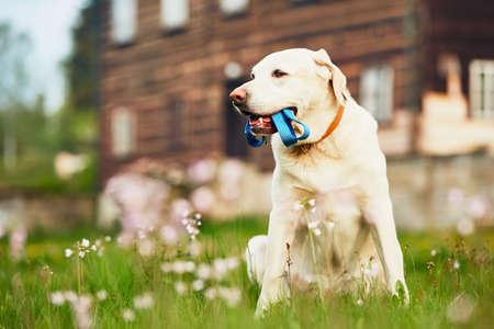귀여운 강아지 (래브라도 리트리버) 가죽 끈와 집 앞의 산책을 기다리고 있습니다. 스톡 콘텐츠