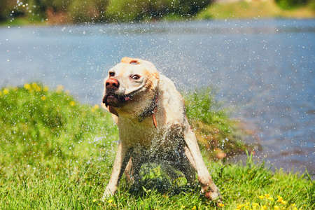 Dog after swimming in the river. Labrador retriever shaking off water.  Imagens