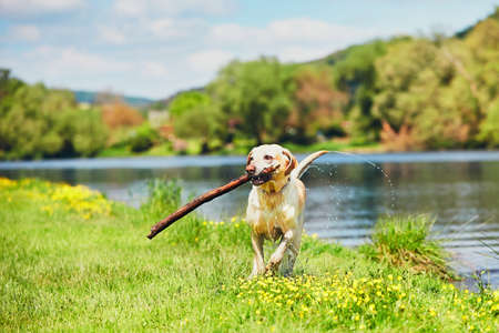 Dog after swimming in the river. Happy labrador retriever running with stick on the meadow. Imagens