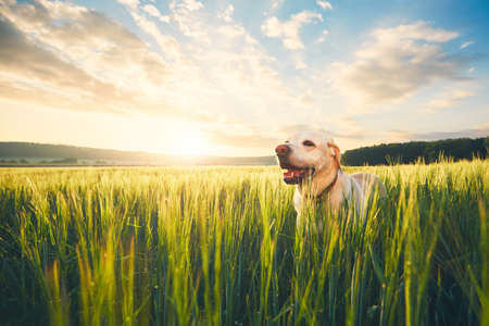 Labrador retriever walking in cornfield at the sunrise. Dog and summer themes.