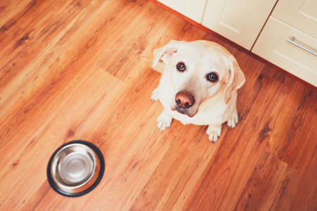 The dog in front of the empty bowl. Hungry labrador retriever waiting for feeding in the kitchen. - selective focus