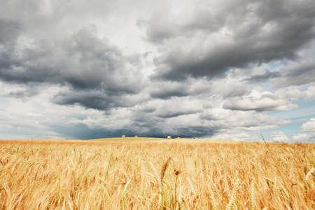 嵐が来ています。悪天候と熟した穀物のフィールド。