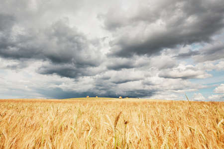 The storm is coming. Poor weather and ripe cereal fields.