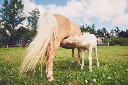Borstvoeding van het pasgeboren paard. Merrie met veulen van het miniatuurpaard op de weide.