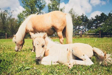 Yegua con potro del caballo en miniatura en el pasto. Foto de archivo - 81500729