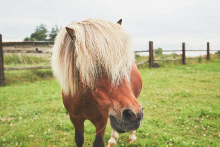 Horse with long mane. Portrait of the miniature horse on the pasture. Reklamní fotografie