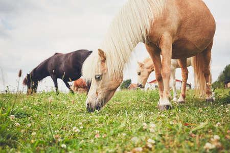 Pastoreo de caballos Rebaño de los caballos en miniatura en el pasto.