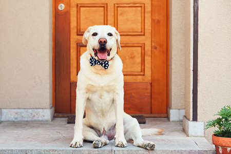 Dog with bow tie. Happy labrador retriever sitting in front of the house.