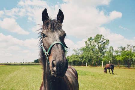 田舎の夏の日。牧場に 2 頭の馬。チェコ共和国 写真素材