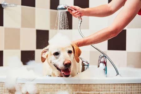 Bathing of the yellow labrador retriever. Happiness dog taking a bath.