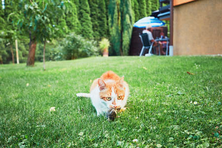 Ginger cat catch a bird on the garden of the family house.
