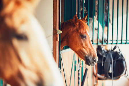 Horses are looking from the window of the contemporary stable.
