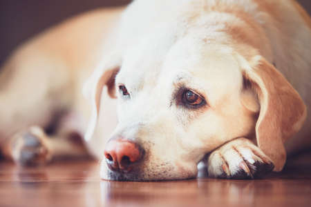 Sad look of the old dog. Sick (or tired) labrador retriever lying on wooden floor at home. Фото со стока - 84076618