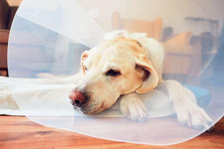 Old dog after surgery. Labrador retriever wearing medical protective collar is lying at home.