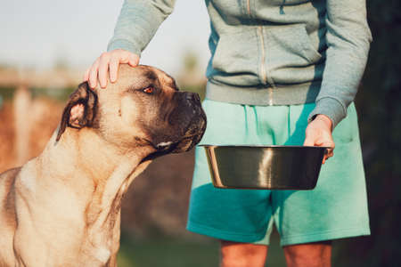 Young man feeding the huge dog (cane corso) in the garden.  Stock Photo