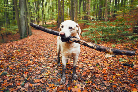 Muddy dog in autumn nature. Dirty labrador retriever with stick in mouth walking on the footpath in the forest.