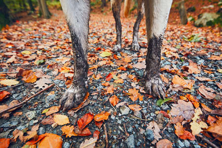Muddy dog in autumn nature. Dirty paws of the labrador retriever on the footpath in the forest. - selective focus