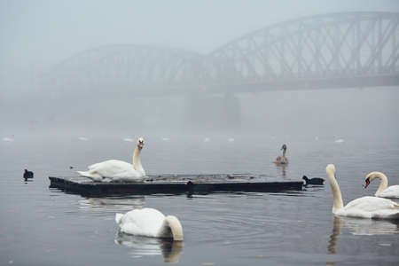 Swan on the river against old iron bridge in mysterious fog. Autumn morning in the city. Prague, Czech Republic Stock Photo - 88217419