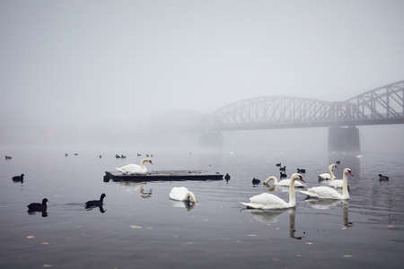 Swan on the river against old iron bridge in mysterious fog. Autumn morning in the city. Prague, Czech Republic Stock Photo - 88199144