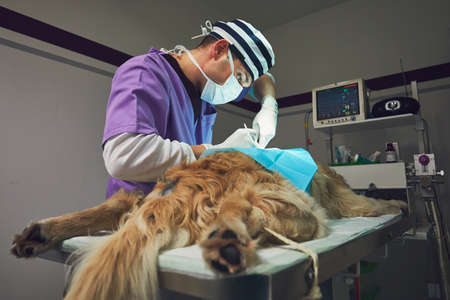 Dog in the animal hospital. Veterinarian during surgery of the golden retriever. Stock Photo