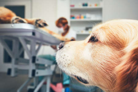 Two brothers of the golden retriever in the animal hospital. Veterinarian preparing the dog for surgery. Thames loyalty, friendship and help.