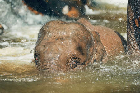 Young Asian Elephant playing in the river. Tropical rainforest in Chiang Mai Province, Thailand. Banco de Imagens - 90913697