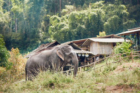 Asian elephant near small village in Chiang Mai Province, Thailand. Stok Fotoğraf