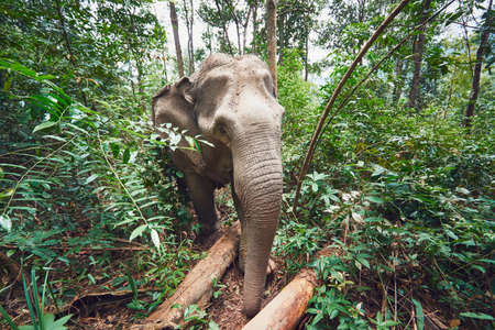 Asian female elephant in tropical rainforest in Chiang Mai Province, Thailand.