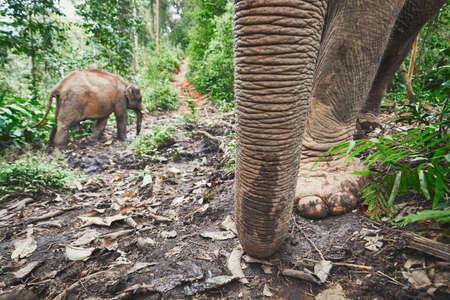 Twee Aziatische olifanten in tropisch regenwoud in Chiang Mai Province, Thailand.