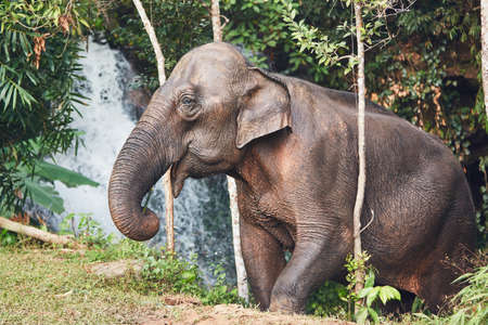 Asian female elephant against waterfall in tropical rainforest. Chiang Mai Province, Thailand. Banco de Imagens