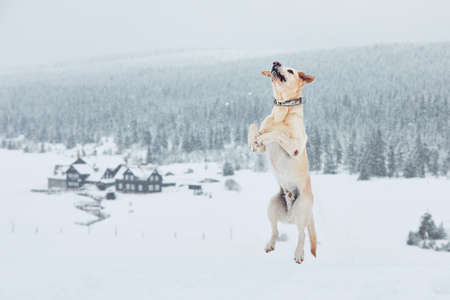 Wintertime with dog in nature. Yellow labrador retriever playing in the snow. Standard-Bild