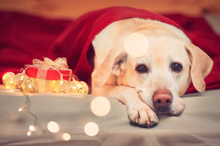 Celebrations (Christmas or birthday) with cute dog. Cheerful labrador retriver lying under red blanket.