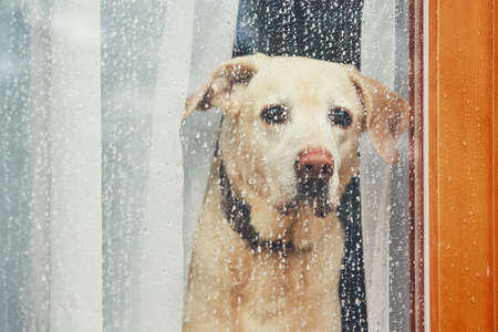 Sad dog waiting alone at home. Labrador retriever looking through window during rain. Banco de Imagens - 94836978