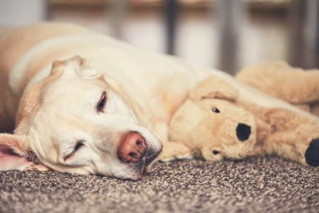 Cozy afternoon at home. Dog resting on the carpet. Yellow labrador retriever lying with his plush toy.  Stock Photo
