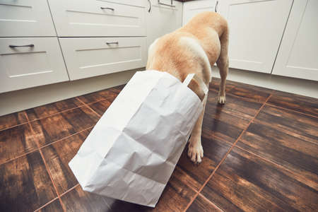 Naughty dog in home kitchen. Curious and hungry labrador retriever eating purchase  from the paper bag. Stock Photo