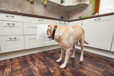 Naughty dog in home kitchen. Curious and hungry labrador retriever eating purchase  from the paper bag. 版權商用圖片