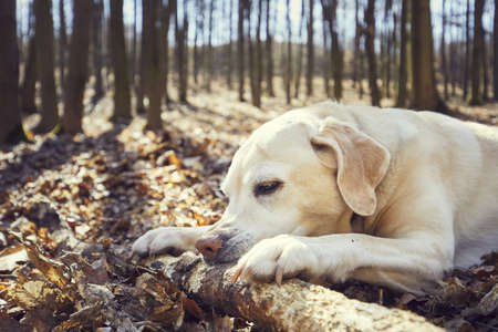 Playful dog in forest. Labrador retriever biting large stick. Stock Photo