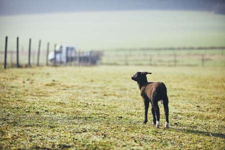 Sunny morning on the rural farm. Lonely lamb looking on pasture.  Stock Photo