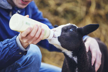 Farm life with sheep. Young man holding bottle with milk and feeding little lamb.