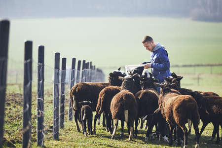 Sunny morning on the rural farm. Cheerful young farmer with bucket feeding herd of black and brown sheep.
