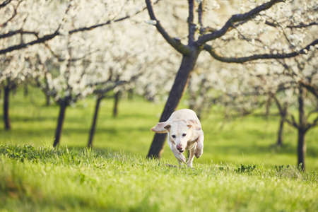 Dog in spring nature. Labrador retriever against blooming trees.