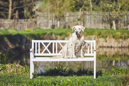 Dog on the garden. Wet labrador retriver sitting on the wooden bench against pond. Stock Photo