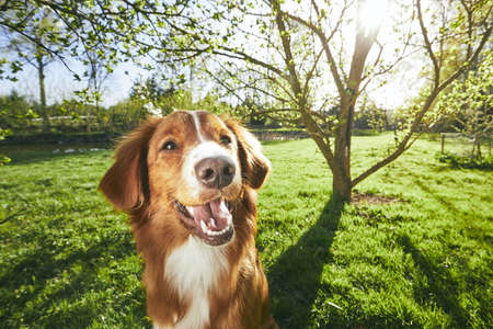 Springtime on the garden. Cute and friendly dog (Nova Scotia Duck Tolling Retriever) sitting under tree on the garden during sunset.