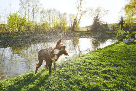 Dog (Nova Scotia Duck Tolling Retriever) shaking off the water after swimming in the lake during sunset.
