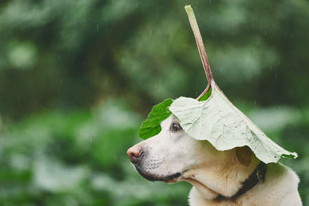 Rainy day with dog in nature. Labrador retriever hiding head under leaf of burdock in rain.