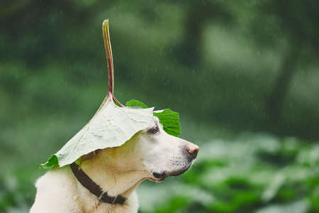 Rainy day with dog in nature. Labrador retriever hiding head under leaf of burdock in rain. 版權商用圖片 - 101655798
