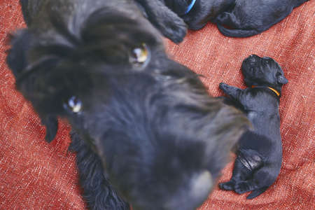 Newborns of Giant Schnauzer dog. Mother and her puppies lying on red blanket. Banco de Imagens