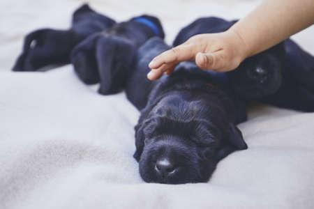 Newborns of dog (10 days old). Child hand stroking puppy of purebred Giant Schnauzer.